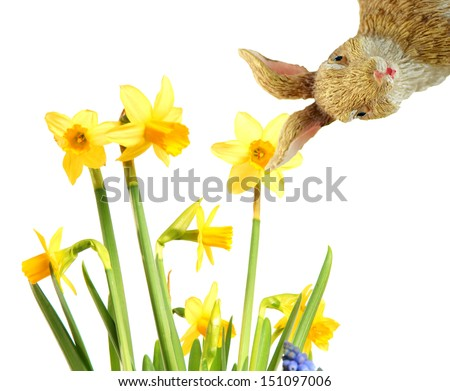 Daffodils and Easter bunny over a white background / easter time