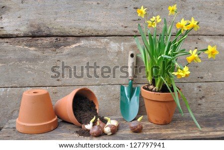 daffodils and tulip bulbs in a pot overturned on wooden board