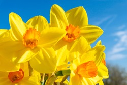 Daffodils flowers close-up. Yellow narcissus against the blue sky. Bright spring sunny day.