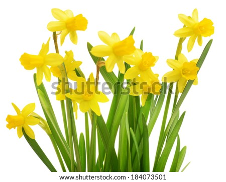 daffodils  flowers isolated on...