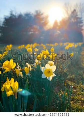 Daffodils glistening in the sunset.