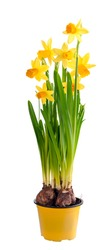Daffodils grow from bulbs in a flower-pot. In isolation.