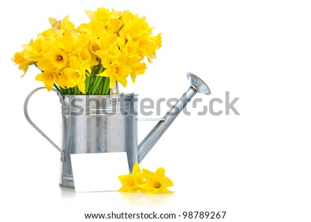daffodils in a metal watering can over white background