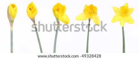 Daffodils in different stages of blooming on white background