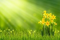 daffodils in sunshine in springtime
