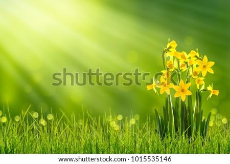 daffodils in sunshine in...