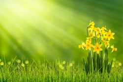 daffodils in sunshine in springtime, easter flowers in green spring meadow on blurred bokeh background, blooming narcissus in sunlight