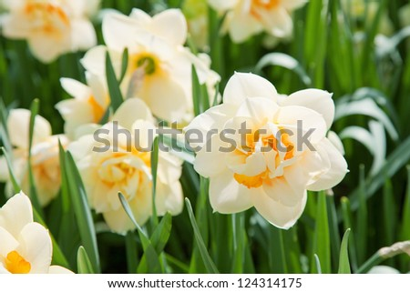 daffodils in the field