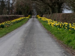 Daffodils lining a country lane in North Herefordshire, UK.