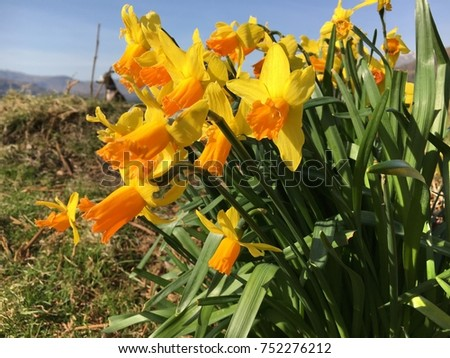 Daffodils on mountainside, Rydal Water, Lake District, Cumbria #752276212