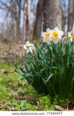 daffodils pop up next to a tree in the woodlands. The bell is a mix of yellows and oranges surrounded by bright white floral leaves. background consists of sky blues and soft browns of the forest.