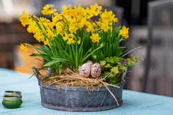 Daffodils with bulbs in a large pot with eggs for Easter