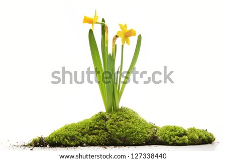 Daffodils with moss isolated on white.