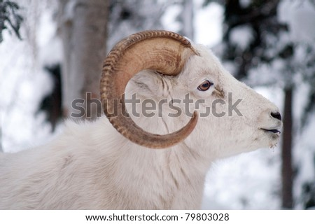 Dahl Sheep Animal Wildlife Buck Winter Outdoors Alaska Wilderness Snow Covered Forest Woods