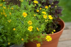 Dahlberg daisy in a flower pot, tiny yellow blooms close up selective focus