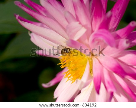Dahlia, asteraceae, with bee feeding on pollen lit by the sun, very colorful. The dahlia is the national flower of mexico.