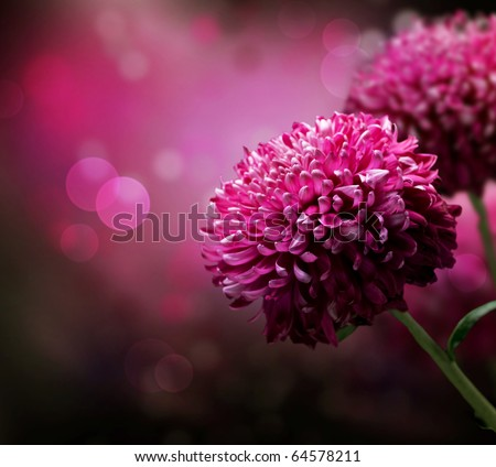 Dahlia Autumn flower design.With copy-space