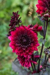 Dahlia Black Touch in garden