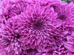 Dahlia blue boy, dahlia flowers, purple flower