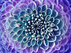 Dahlia blue-purple flower.  Macro. Motley big flower. Floral background. Nature.