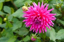 Dahlia cactus pink flowers in garden