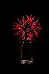 Dahlia 'Chat Noir', a cactus dahlia, as a still life with a black background