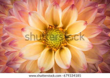 Dahlia Colorful