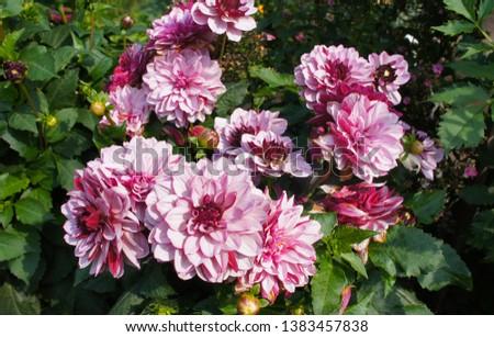 Dahlia creme de cassis pale pink  flowers Photo stock ©
