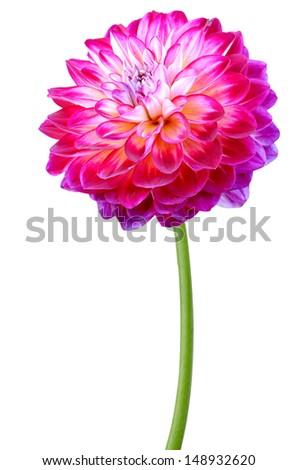 stock-photo-dahlia-daisy-on-a-white-background-148932620.jpg