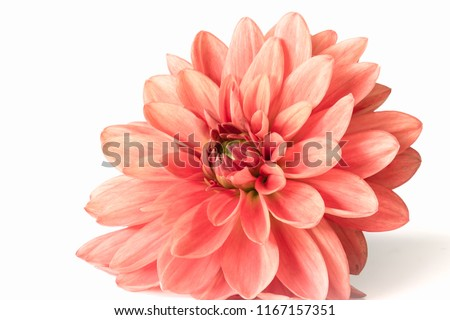 Dahlia flower against a white background
