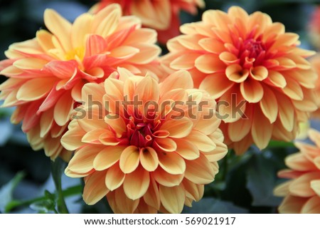 Dahlia flower are colorful and orange .
