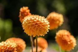 Dahlia flower called Dahlia Sylvia, grown in a garden