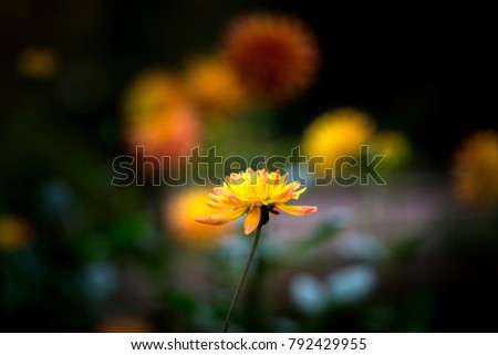 Dahlia flower close up photo at nature.Photo select focus.