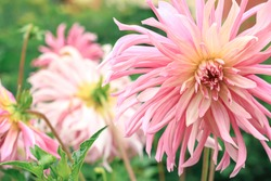 Dahlia flower. Close view of a pink flower dahlia in the garden. Floral beautiful background.