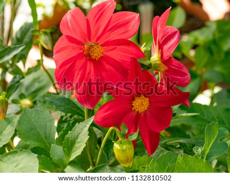 Dahlia flower, closeup of  red dahlia flower in full bloom in the garden. Floral background
