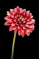 dahlia flower isolated on black