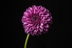 Dahlia flower isolated on black background. Dahlia Flower.