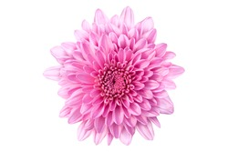Dahlia flower isolated on white background with clipping path,Closeup. For design. Nature., Chrysanthemum bright pink flower,Closeup no shadows. Garden flower. Nature