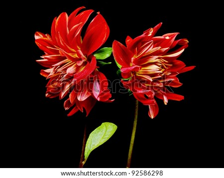 dahlia flower on a black background