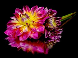 dahlia flower on a black background with water drops