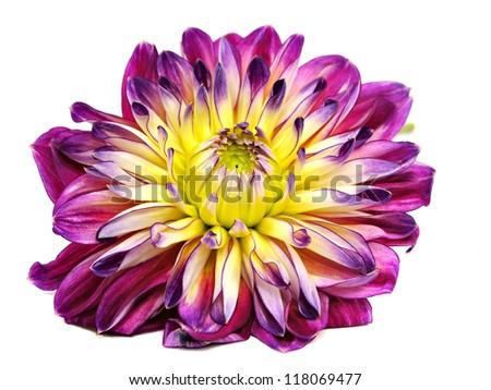 dahlia flower on a white background