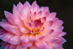Dahlia flower on black background. Pink petals close up. Macro flower with droplets. Greeting card, poster. Bright floral photography for design