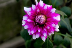 Dahlia Flower on Isolated Background, Jowey Winnie