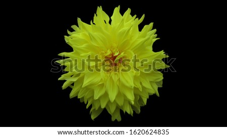 Dahlia flower photography. Flower photography for wallpaper