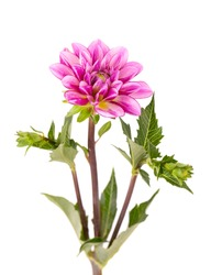 Dahlia flower. Pink Dahlia flower with green leaves, isolated on white background, with clipping path.