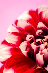 Dahlia flower red  and yellow on Pink background.
