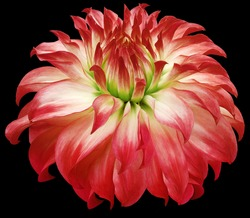 dahlia flower red.  Flower isolated on the black background. No shadows with clipping path. Close-up. Nature.