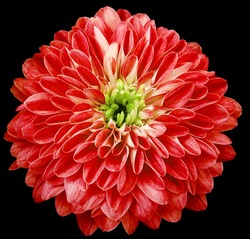dahlia flower  red.. Flower isolated on the black  background. No shadows with clipping path. Close-up. Nature.
