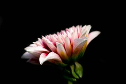 dahlia flower with black background, close up picture of dahlia