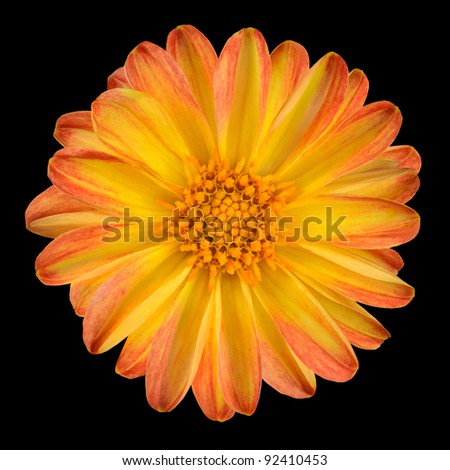 Dahlia Flower with Orange Yellow Petals Isolated on Black Background - stock photo